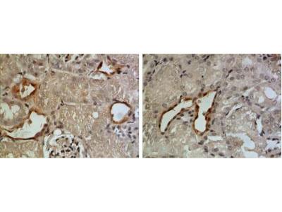 Rat Monoclonal Gas6 Antibody