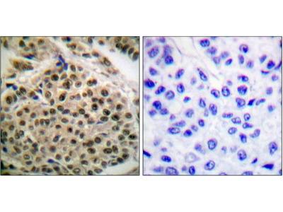 NF-kappa B p105/p50 (Phospho-Ser927) antibody