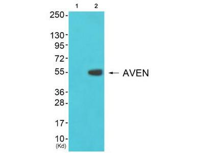 COX17 antibody