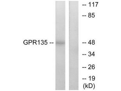 GPR135 antibody