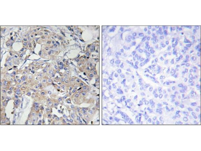 Collagen VI alpha 3 antibody