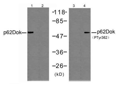 p62 Dok (Phospho-Tyr362) antibody