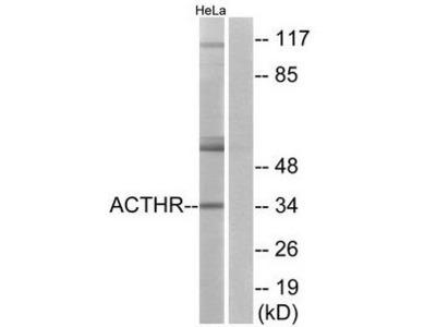 ACTHR antibody