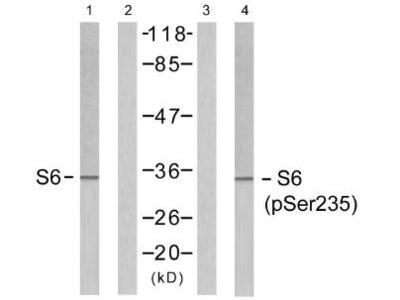 S6 Ribosomal Protein (Phospho-Ser235) antibody