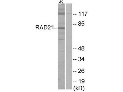 RAD21 antibody