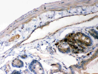 Anti-IKB alpha/NFKBIA Picoband Antibody