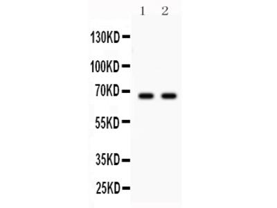 Anti-Parkin/PRKN Picoband Antibody