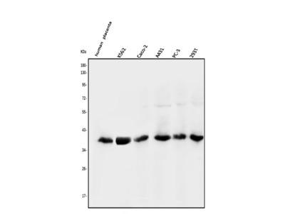 Anti-N myc interactor/NMI Picoband Antibody