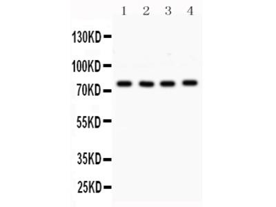 Anti-PKC alpha/PRKCA Picoband Antibody