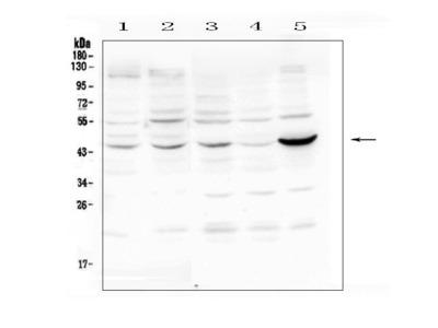 Anti-PIM1 Picoband Antibody
