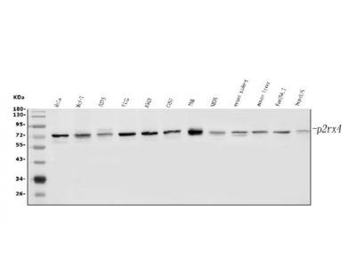 Anti-P2RX4 Picoband Antibody