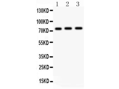 Anti-c-Myb Picoband Antibody
