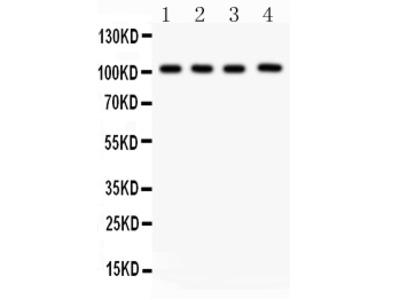 Anti-Neuropilin 1/NRP1 Picoband Antibody