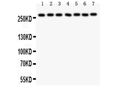 Anti-LRRK2 Picoband Antibody