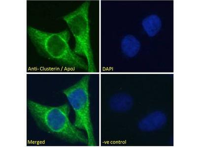 CLU / Clusterin Antibody