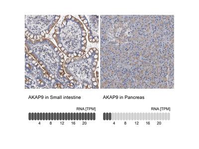 Anti-AKAP9 Antibody