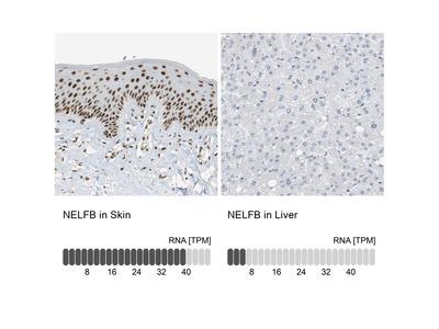 Anti-NELFB for Immunofluorescence