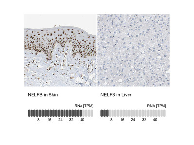 Anti-NELFB Antibody