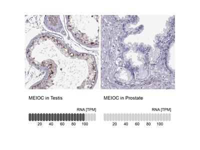 Anti-MEIOC Antibody