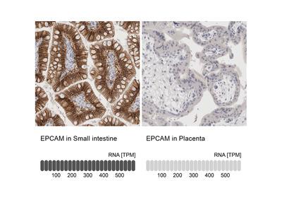 Anti-EPCAM Antibody