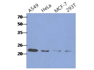 RAIDD (CRADD) mouse monoclonal antibody, clone AT14G8, Purified