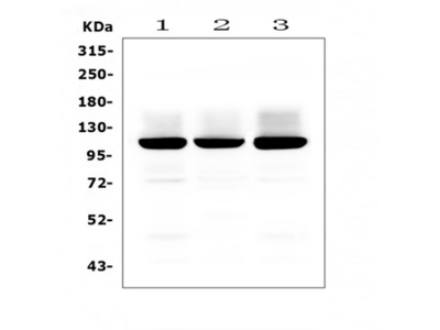 GRIA2 / GLUR2 Antibody