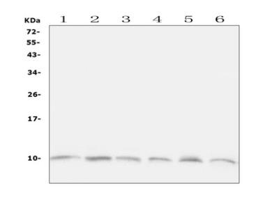 UBB / Ubiquitin B Polyclonal Antibody