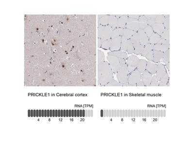 Anti-PRICKLE1 Antibody
