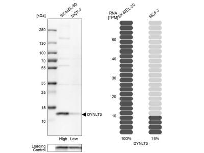 Anti-DYNLT3 Antibody