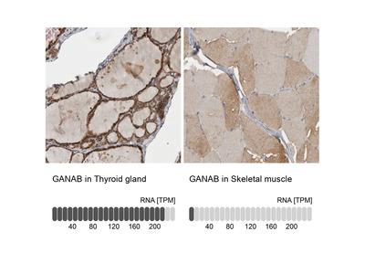 Anti-GANAB Antibody