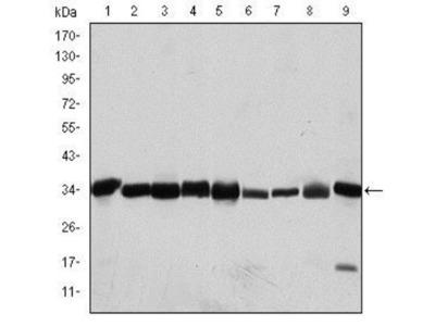 CDC2 / CDK1 Antibody (2G9)