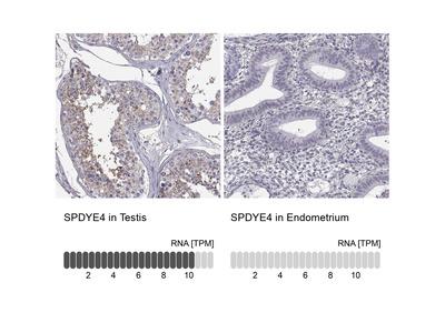 Anti-SPDYE4 Antibody