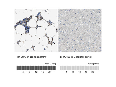 Anti-MYO1G Antibody
