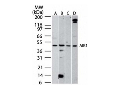 Aurora A Antibody