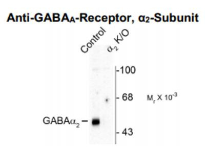 GABA-AR alpha 2 Antibody