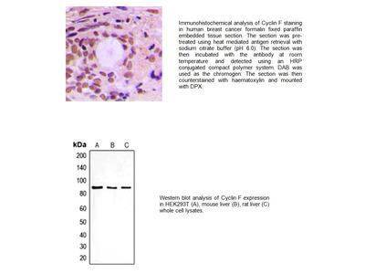 Cyclin F Antibody