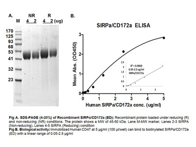 Human CellExp™ CD172a/ SIRP alpha, Extracellular Domain (ED), Human Recombinant