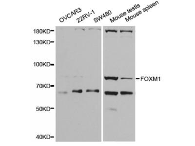 Forkhead Box Protein M1 (FOXM1) Antibody