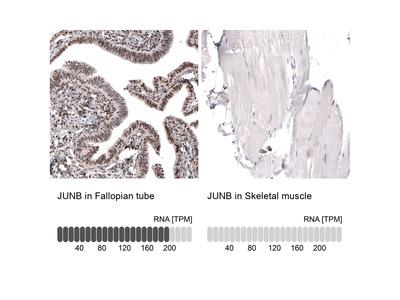 Anti-JUNB Antibody