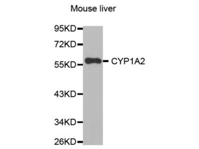 Cytochrome P450 1A2 (CYP1A2) Antibody