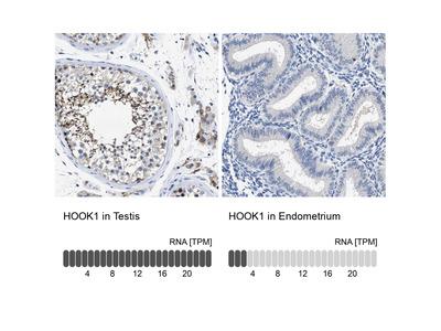 Anti-HOOK1 Antibody