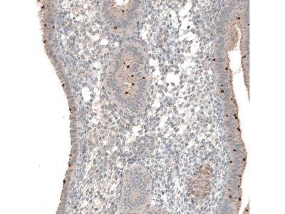 Anti-NPRL3 Antibody