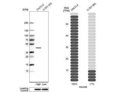 Anti-NSUN5 Antibody