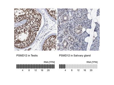 Anti-PSMD12 Antibody