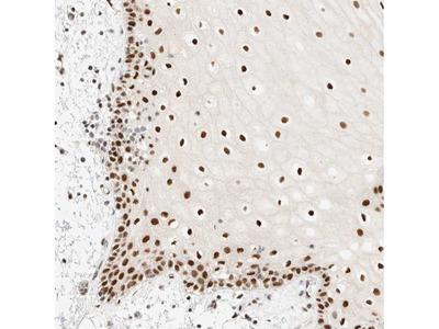 Anti-PYGO2 Antibody