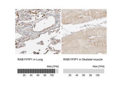 Anti-RAB11FIP1 Antibody