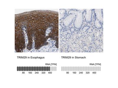 Anti-TRIM29 Antibody
