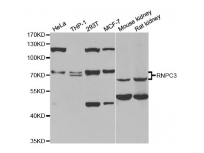 RNA Binding Region (RNP1, RRM) Containing 3 (RNPC3) Antibody