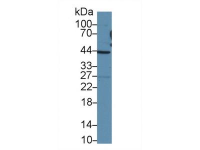Tafazzin (TAZ) Antibody