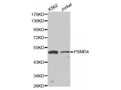 Proteasome 26S Subunit, Non ATPase 4 (PSMD4) Antibody